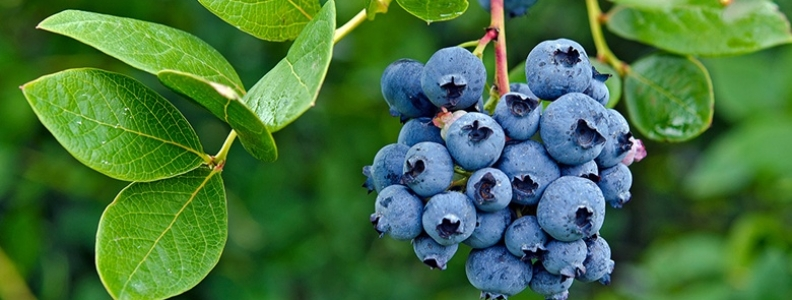 A Guide For Fertilising Blueberries